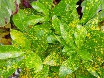 La fine su di rinfresco del ` giallo verde giovane s dell'albero del Croton va Fotografia Stock