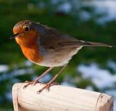 La fine in su di Robin si è appollaiata sulla maniglia della forcella in neve Immagine Stock Libera da Diritti