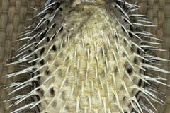 La fine su farcita sul pesce della soffiatore chioda il fondo immagini stock