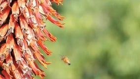 La fine su ha sparato di un fiore dell'aloe con funzionamento dell'ape stock footage