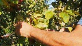 La fine su ha sparato di un lavoratore che seleziona le mele mature stock footage