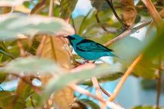 La fine su ha sparato di un tanager del sorso appollaiato in un albero alla serra tropicale in Frederik Meijer Gardens immagine stock