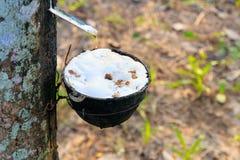 La fine su latice di gomma bloccato dall'agricoltura del giardino dell'albero di gomma nella campagna con lo spazio della copia a Immagini Stock Libere da Diritti