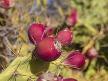 La fine su matura la frutta tropicale del cactus dell'opunzia rossa del fico d'India sul pla Immagine Stock Libera da Diritti
