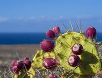 La fine su matura la frutta tropicale del cactus dell'opunzia rossa del fico d'India sul pla Fotografia Stock Libera da Diritti