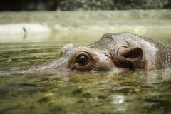 La fine su osserva ed orecchie dell'ippopotamo Immagini Stock