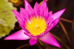 La fine sul fiore di loto porpora è fiorente ed eccezionale in stagno che nel parco naturale, la Tailandia, orizzontale di vista  immagine stock