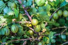La fine sul punto di vista della bacca organica dell'uva spina appende su un ramo sotto le foglie immagini stock
