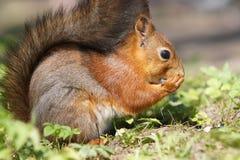 La fine sul punto di vista dello scoiattolo rosso mangia il seme su erba Fotografie Stock