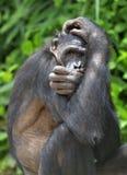 La fine sul ritratto di bonobo femminile, nascondente il fronte in zampe, in habitat naturale Sfondo naturale verde Fotografie Stock