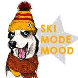 La fine sul ritratto di vettore del cane del husky siberiano porta il beanie e la sciarpa Umore di modo dello sci Skecthed ha col Fotografia Stock Libera da Diritti
