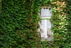 La finestra bianca in edera verde ha coperto la parete Fotografie Stock