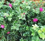 La fioritura è aumentato Immagini Stock