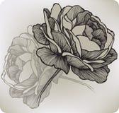 La fioritura è aumentato, a mano disegno. Illustrazione di vettore. Fotografia Stock