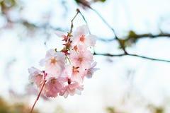 La fioritura dei fiori rosa in primavera, sakura sboccia Fotografia Stock Libera da Diritti