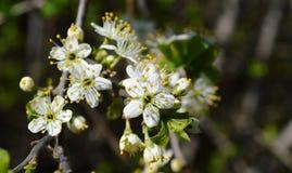 La fioritura della molla in Russia dei fiori bianchi dei ciliegi Immagine Stock Libera da Diritti