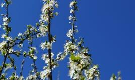 La fioritura della molla in Russia dei fiori bianchi dei ciliegi Immagini Stock Libere da Diritti