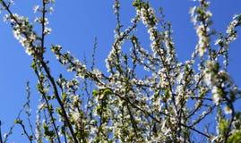 La fioritura della molla in Russia dei fiori bianchi dei ciliegi Fotografie Stock Libere da Diritti
