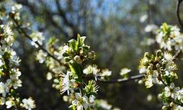 La fioritura della molla in Russia dei fiori bianchi dei ciliegi Fotografia Stock