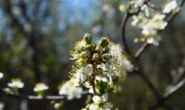 La fioritura della molla in Russia dei fiori bianchi dei ciliegi Fotografia Stock Libera da Diritti