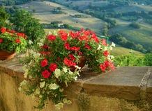 La fioritura della petunia Fotografia Stock
