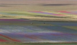 La fioritura di Castelluccio immagini stock libere da diritti