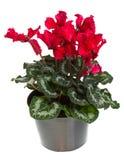 La fioritura di colore rosso conservata in vaso cyclamen isolato su bianco Immagine Stock Libera da Diritti
