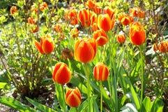 la fioritura fiorisce il tulipano arancione fotografia stock