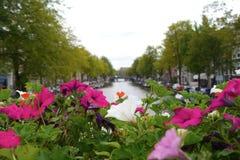 La fioritura rosa fiorisce vicino al canale a Amsterdam Fotografie Stock Libere da Diritti