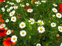 La fioritura tenera dei perennis del Bellis delle margherite e i rhoeas rossi del papavero del papavero fioriscono nel giorno sol fotografia stock