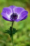 La fioritura viola. Immagini Stock
