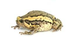 La fisiologia esterna della rana della rana toro con un fondo bianco immagini stock libere da diritti