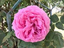 La fleur énorme s'est levée Image stock