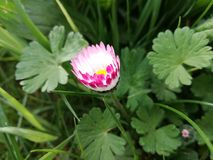 La fleur allant s'ouvrir dans le jardin Photographie stock