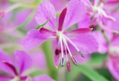 La fleur avec le pollen du plan rapproché d'épilobe Photographie stock