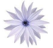 La fleur blanc-bleue de jardin, blanc a isolé le fond avec le chemin de coupure closeup Aucune ombres vue des étoiles, pour la co Image libre de droits
