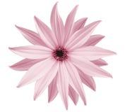 La fleur blanc-rose de jardin, blanc a isolé le fond avec le chemin de coupure closeup Aucune ombres vue des étoiles, pour la con Photos libres de droits