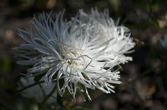 La fleur blanche d'aster se développe sur le parterre d'automne photos libres de droits