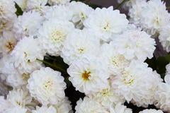la fleur blanche et jaune de dahlia, avec geen le fond, dehors le jour d'été photographie stock