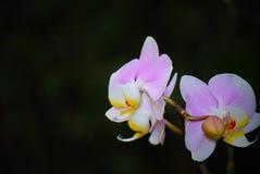 La fleur blanche et rose d'orchidée avec l'obscurité a brouillé le fond Photo stock