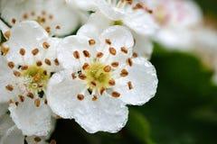 La fleur blanche humide image libre de droits