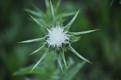 La fleur blanche invisible de ressort s'est fortement protégée photos libres de droits
