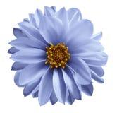 La fleur bleu-clair de dahlia sur un blanc a isolé le fond avec le chemin de coupure Plan rapproché aucune ombres Fleur de jardin Images stock