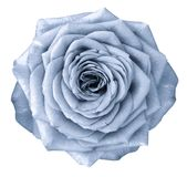 La fleur bleu-clair de Rose sur le blanc a isolé le fond avec le chemin de coupure Aucune ombres closeup photographie stock