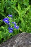 La fleur bleue d'Hawaï en stationnement. Image libre de droits