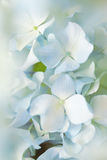 La fleur bleue d'hortensia avec l'effet de couleur et le solf s'allument Photographie stock libre de droits