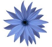La fleur bleue de jardin, blanc a isolé le fond avec le chemin de coupure closeup Aucune ombres vue des étoiles, pour la concepti Image libre de droits
