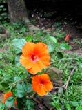 La fleur colorée ressemble au Chinois s'est levée, sinensis de rosa de ketmie , MALVACEAE Photographie stock