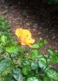 La fleur colorée ressemble au Chinois s'est levée, sinensis de rosa de ketmie , MALVACEAE Photographie stock libre de droits