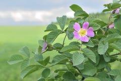 La fleur crabot-s'est levée buisson Photo stock